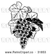 Vector Clip Art of a Fresh Retro Bunch of Grapes on a Vine with Leaves in Black and White by AtStockIllustration