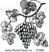 Vector Clip Art of Retro Bunch of Grapes on the Vine by Prawny Vintage