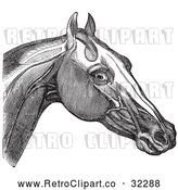 Vector Clip Art of Retro Engraving of Horse Head and Neck Muscles in 2 by Picsburg
