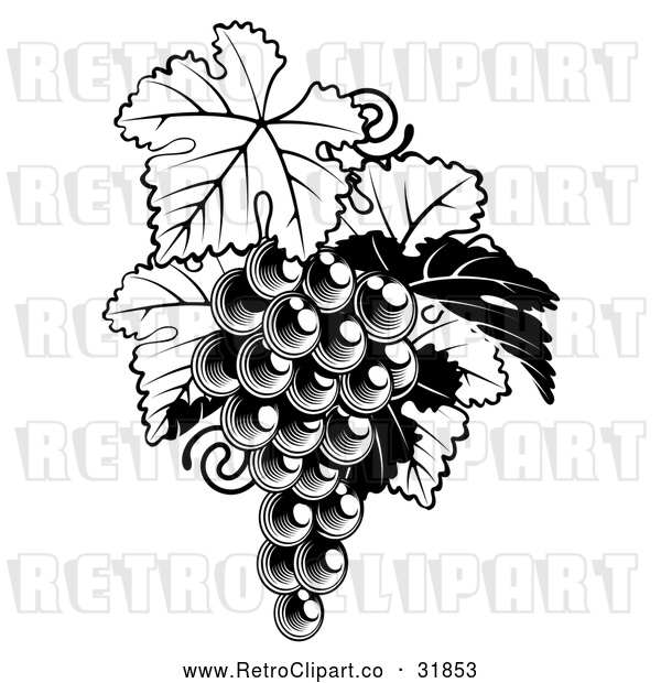 Vector Clip Art of a Fresh Retro Bunch of Grapes on a Vine with Leaves in Black and White