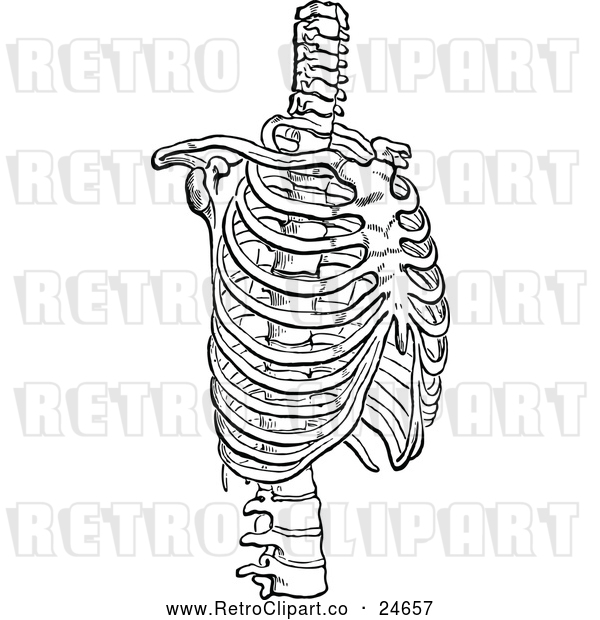 : Vector Clip Art of a Retro Human Rib Cage