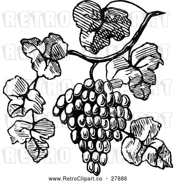 Vector Clip Art of Retro Bunch of Grapes on the Vine
