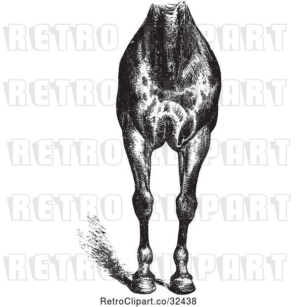 Vector Clip Art of Retro Engraved Horse Anatomy of Good Breast and Limbs in
