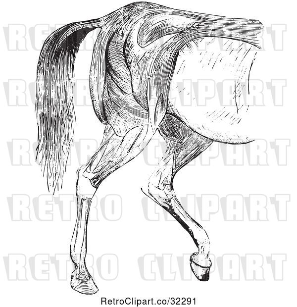 Vector Clip Art of Retro Engraved Horse Anatomy of Hind Quarter Muscular Covering in