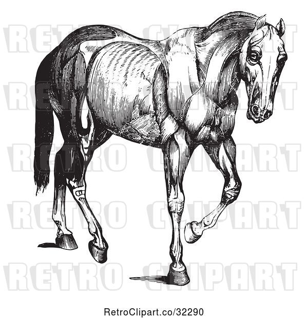 Vector Clip Art of Retro Engraved Horse Anatomy of Muscular Covering in