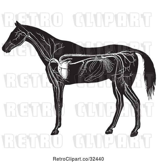 Vector Clip Art of Retro Engraved Horse Anatomy of the Circulatory System in