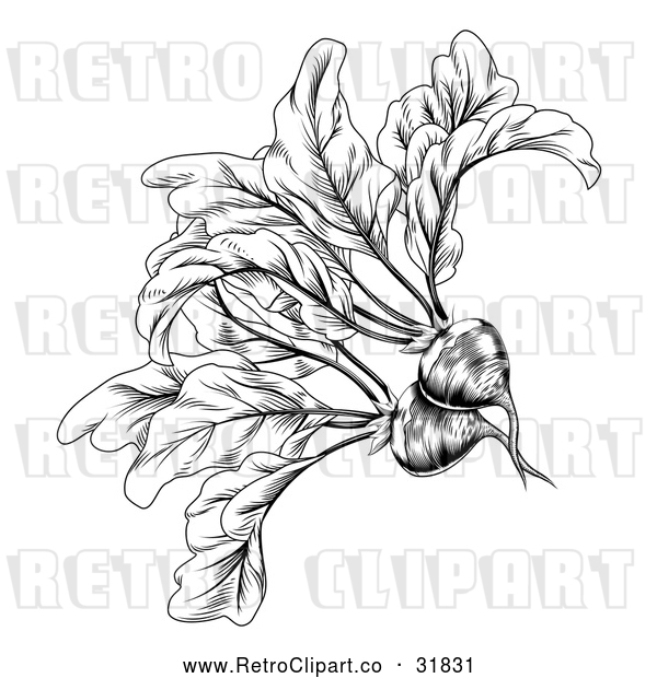 : Vector Clip Art of Retro Woodcut Styled Beet in Black and White
