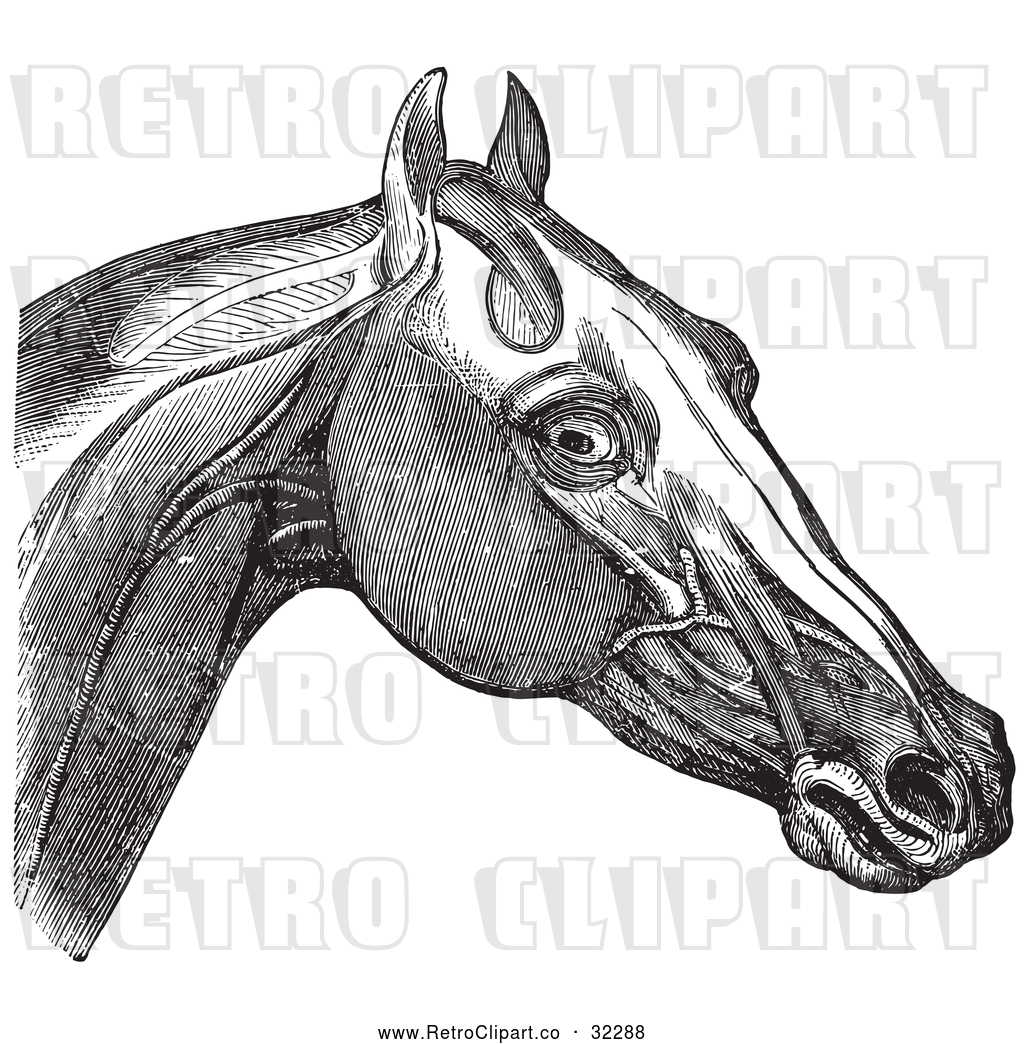 Vector Clip Art of Retro Engraving of Horse Head and Neck Muscles in ...