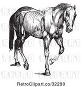 Vector Clip Art of Retro Engraved Horse Anatomy of Muscular Covering in by Picsburg